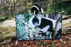 Medzinárodne uznávaná charitatívna nadácia na ochranu zvierat Aspinall Foundation nainštalovala televízory Sony BRAVIA s rozlíšením 4K do ohrád primátov.