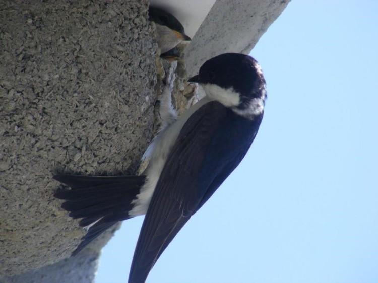 V areáli sa vyskytujú aj lastovičkám podobné belorítky, ktoré majú od roku 2014 na objektoch rafinérie vybudované umelé hniezda pre bezpečné vyvedenie mladých.